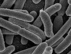 Bakteri E-Coli Bisa Untuk Membuat Bahan Bakar